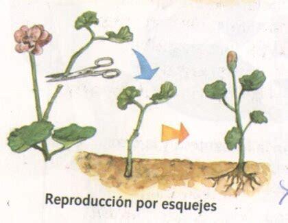 imagenes de flores que se reproducen asexualmente laboratorioparatodos plantas