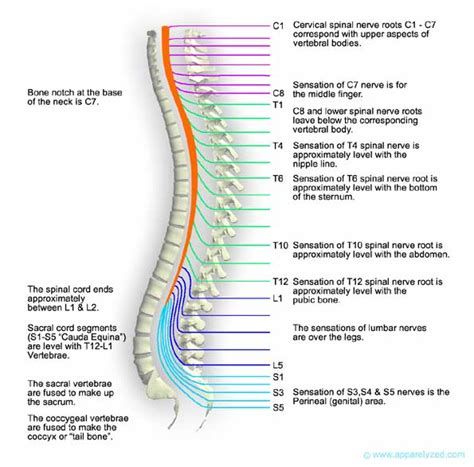 diagram of spine and nerves spine diagram labeled