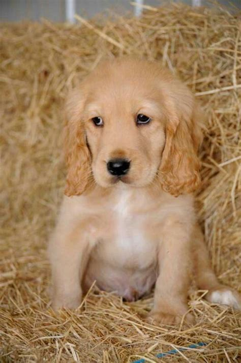 how much should my golden retriever puppy weigh 8 week golden labrador motorcycle review and galleries