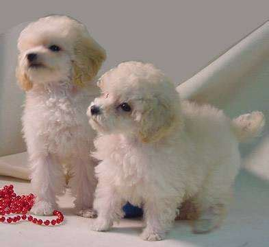 dogs for sale cumbria toy for dog toy for dog toy poodle puppies for sale parkland florida puppies