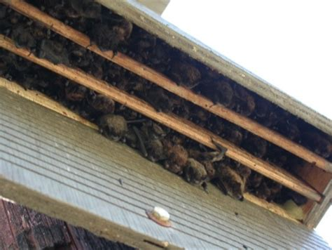 bats in the house get flying bats out of house bat boxes