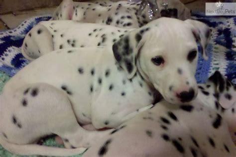 dalmatian puppies for sale missouri dalmatian puppy for sale near springfield missouri