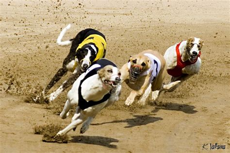 puppy racing bet on greyhound race
