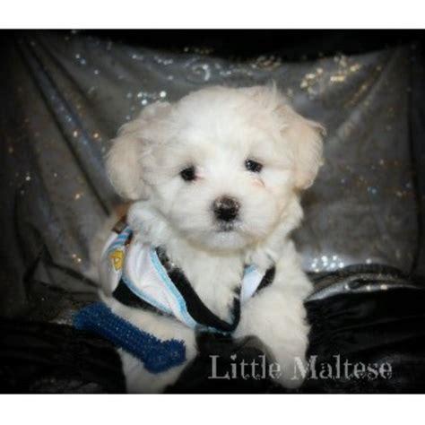 free puppies in oklahoma maltese maltese breeder in wilson oklahoma listing id 18588