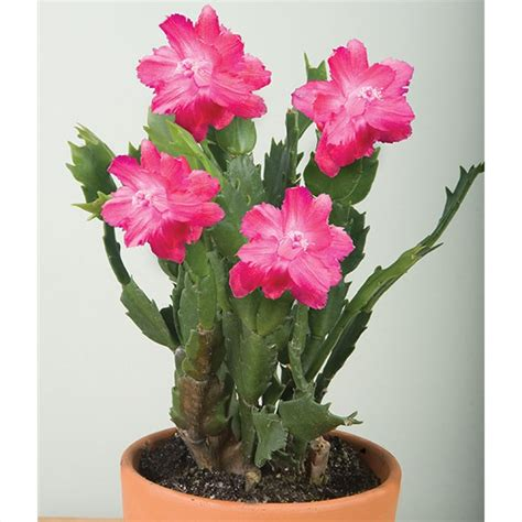 schlumbergera christmas cactus red aspen  pot logees