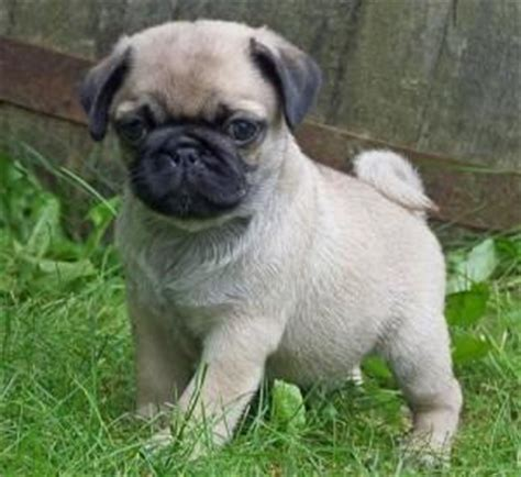 adopt a pug puppy for free kennedale affectionate pug puppy for free adoption