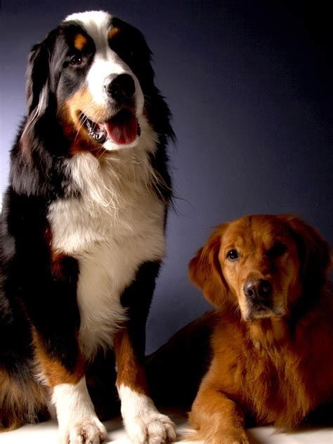 golden retriever bernese mountain foto gratis bernese mountain imagen gratis en pixabay 642014