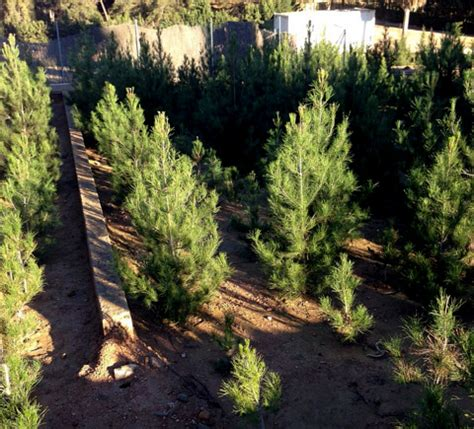 ecological christmas trees murcia today ecological trees on sale in el valle regional park