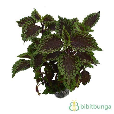 Tanaman Herban Daun Mint Tanaman Daun Mint Asli tanaman coleus chocolate mint jual tanaman hias