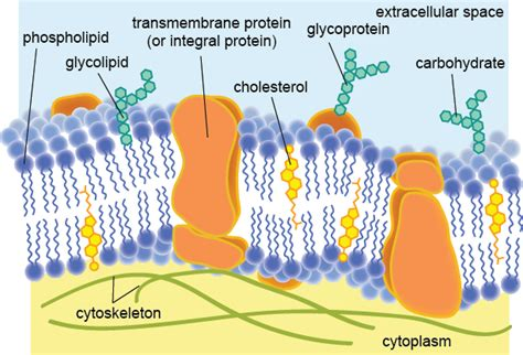 cell membrane labeled diagram biology the plasma membrane shmoop biology