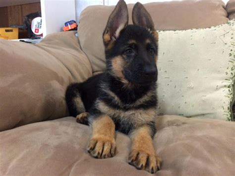 german shepherd puppies pa maximus german shepherd puppies for sale in pa