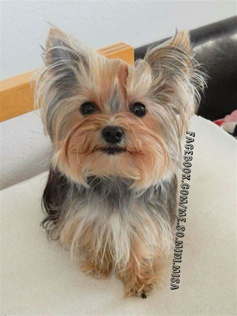 misa minnie yorkie best 20 yorkie hairstyles ideas on yorkie hair cuts terrier