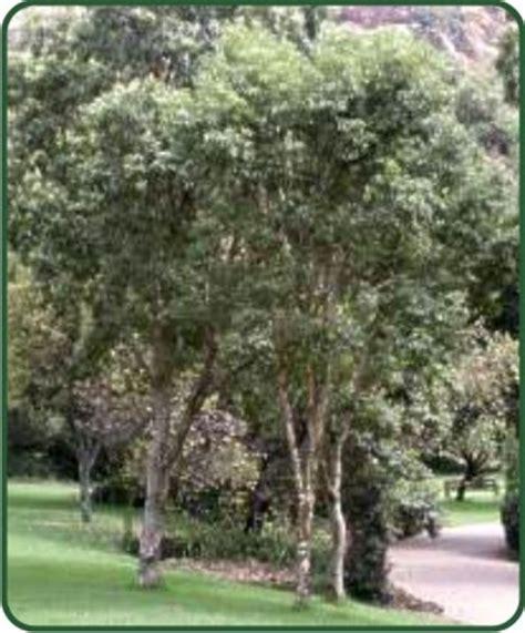 treeco heteropyxis natalensis lavender tree