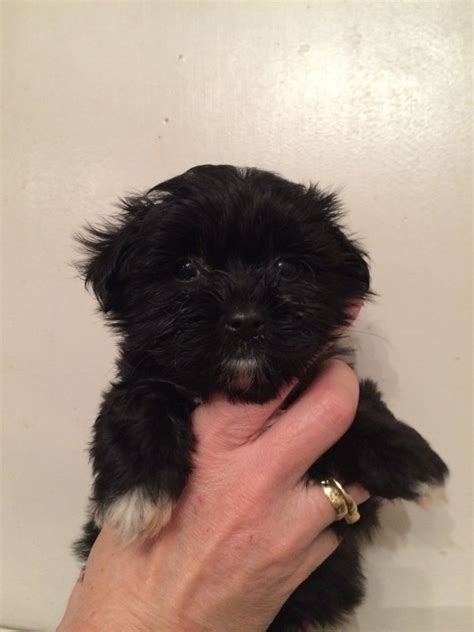 black maltese shih tzu puppies for sale the gallery for gt teacup shih tzu puppies