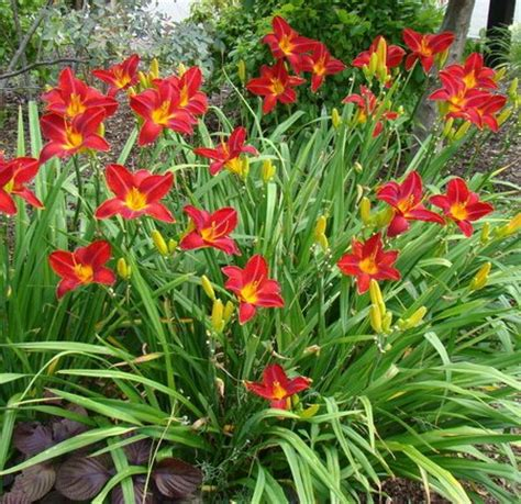 Daylilies For Shade Shade Loving Plants Www Coolgarden Me