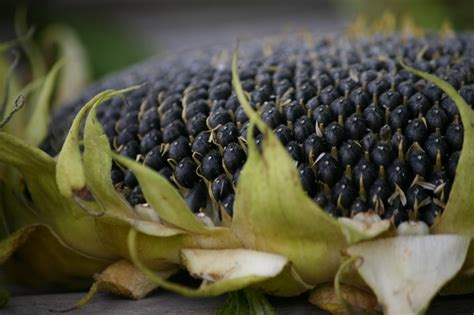 organic black sunflower seeds for chickens 17 best images about sunflowers on sunflower seeds field of sunflowers and