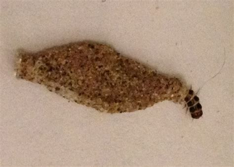 Pantry Moth Larvae by Pantry Moths Clothes Moths Bearers And Meal Moths