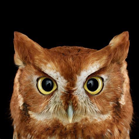 Owl In who s who audubon