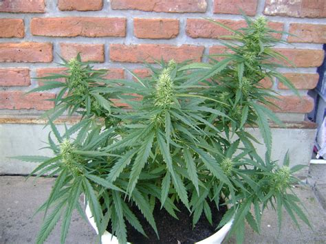 Grow Lights All Pictures Of Black Jack Sweet Seeds Into The Strain