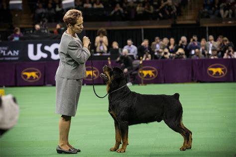 rottweiler show dogs dogs take the stage at the 138th westminster kennel club show