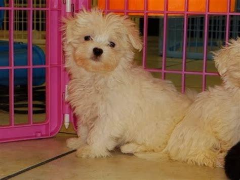 puppyfind craigslist oodle kijiji hoobly ebay