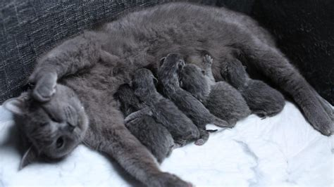 shorthair cat shorthair cat giving birth of 5 babies 1st