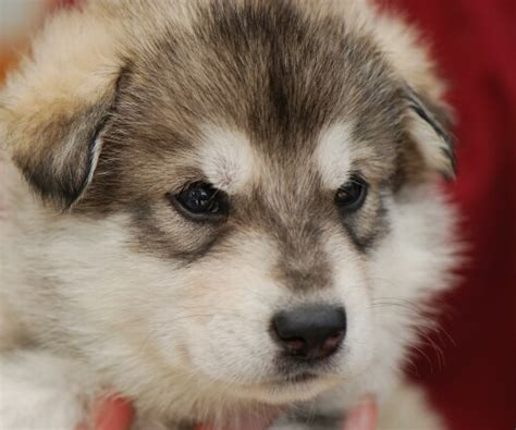 northern inuit for sale northern inuit dogs for sale dogable