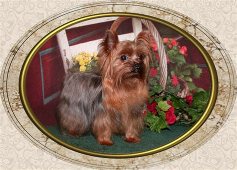 velvet touch yorkies velvet touch yorkies d o b height weight information