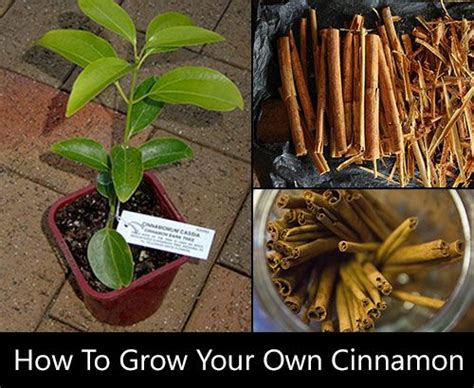grow   cinnamon spice garden edible