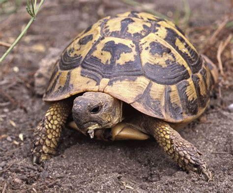 alimentazione testudo hermanni tartarughe di terra guida alla corretta alimentazione