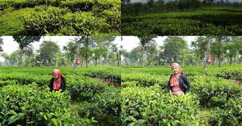 imam  muhtar  bilang waw  kebun teh  wisata
