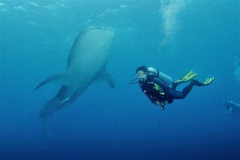 Promo Hiu Pasak Bumi duta wisata 187 menakjubkan berenang bersama mahluk terbesar di dunia