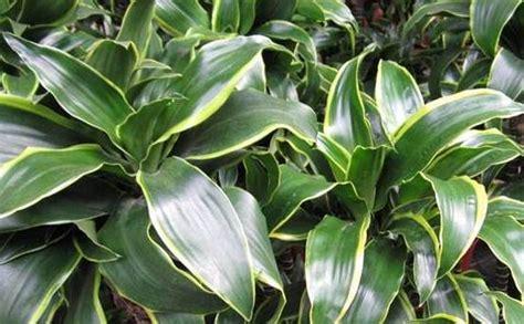 elenco piante verdi da appartamento piante verdi per interno florpagano di antonio pagano