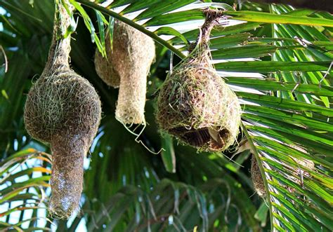 stock pictures weaver bird nests