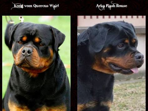 king rottweilers king rottweilers rottweiler puppies for sale