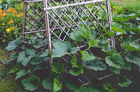 squash trellis plant winter squash in the seattle farm company