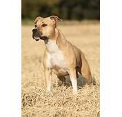 Pit Bull Terrier Bullmastiff Mix