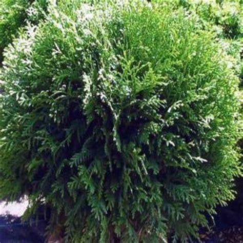 hetz arborvitae shrub landscape plant list