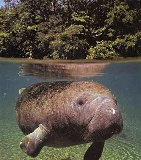imagenes de animales wikipedia manati seekuh sirena trichechus manatus