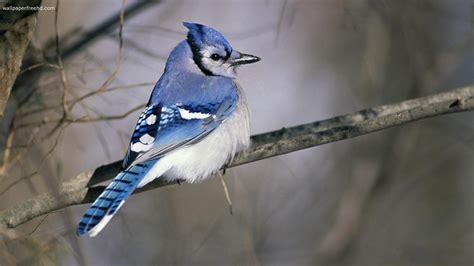 birds wallpapers wallpaper cave blue bird wallpapers wallpaper cave