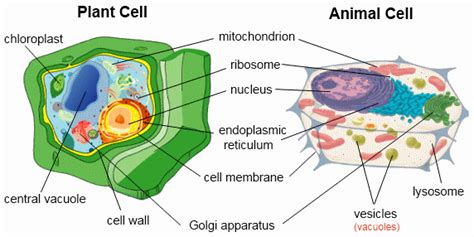 up letter between plant and animal cell cell structure and organization biology keystone