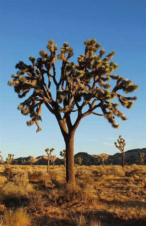 define tree xerophyte wikipedia