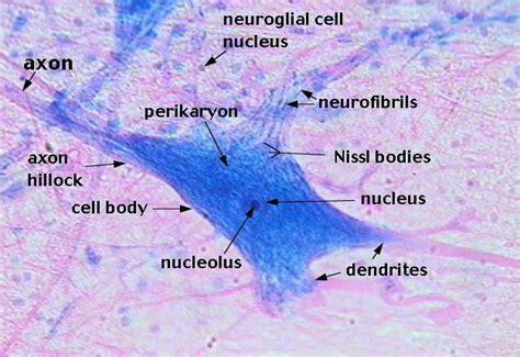 nervous tissue labeled diagram nissl bodies nissl granules