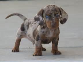 Dachshund Puppies Akc Dapple Dachshund Puppies By Testimonials