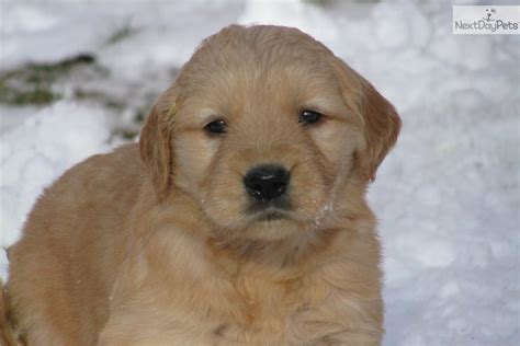 golden retriever puppies california golden retriever puppies california breeds picture
