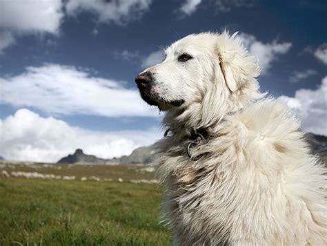 pictures of great pyrenees dogs great pyrenees breed information pictures characteristics facts dogtime