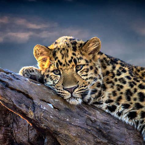 sad leopard wallpaper  hp touchpad