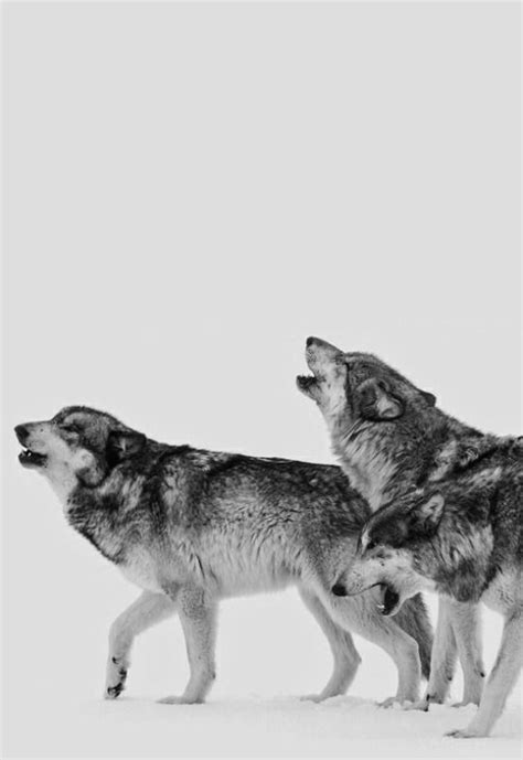 ( sons of the rising moon. ) | anm | Beautiful wolves