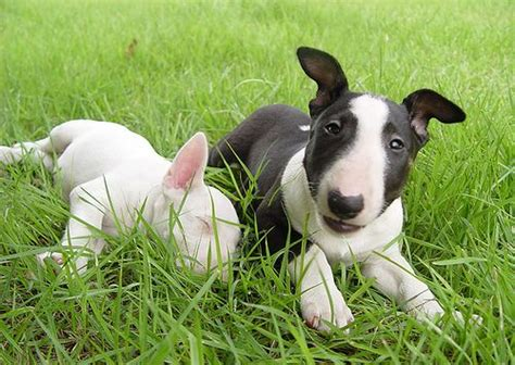 bull terrier miniature the life of animals bull terrier miniature the life of animals