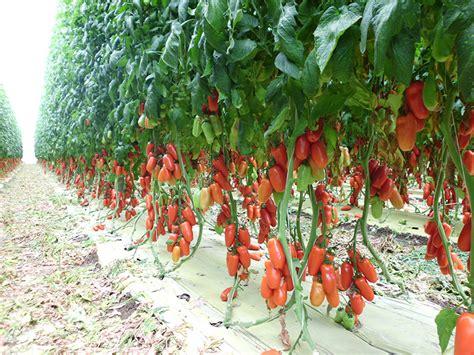 inps fiori san marzano tomato heirloom tomato seeds